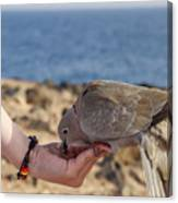 Collared Dove Feeding From A Hand Canvas Print