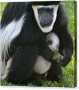 Colobus Monkey With Baby Canvas Print