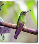 Colombian Hummingbird Canvas Print