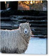 Colonial Sheep In Winter Canvas Print