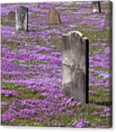Colonial Tombstones Amidst Graveyard Phlox Canvas Print
