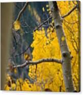 Colorado Aspen In Fall Canvas Print