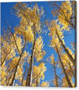 Colorado Aspen Canvas Print