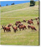 Colorado Elk Herd Canvas Print