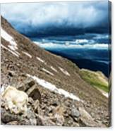Colorado Mountain Goat Canvas Print