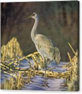 Colorado Sandhill Crane  Canvas Print