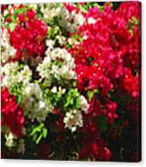 Colorful Bougainvilleas Canvas Print