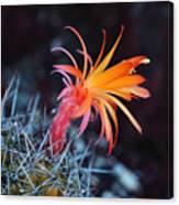 Colorful Cactus Flower Canvas Print
