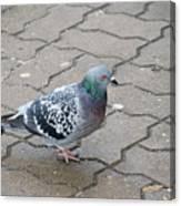 Colorful Dove Canvas Print