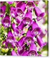 Colorful Foxglove Flowers Canvas Print