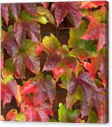 Colorful Ivy Wall In Autumn Ireland Canvas Print