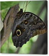 Colorful Markings On A Blue Morpho Butterfly On A Tree Trunk Canvas Print