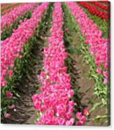 Colorful Rows Of Tulips Canvas Print