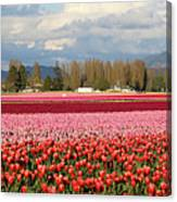 Colorful Skagit Valley Tulip Fields Panorama Canvas Print