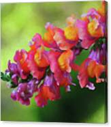 Colorful Snapdragon Canvas Print