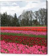 Colorful Tulips Blooming At Tulip Festival Canvas Print