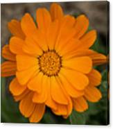 Colourful Orange Signet Marigold  Canvas Print