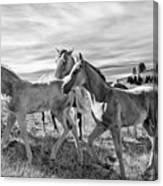 Colt 019 Canvas Print