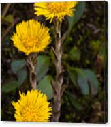 Coltsfoot Trio Canvas Print