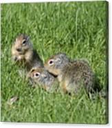 Columbian Ground Squirrels Canvas Print