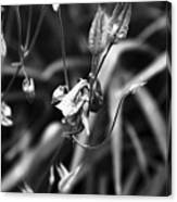 Columbine Flower 2 Black And White Canvas Print