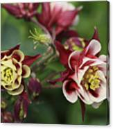 Columbine In Spring Canvas Print