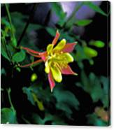 Columbine Outstanding Red Yellow  Canvas Print