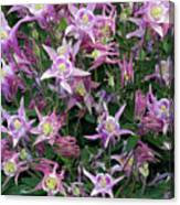 Columbine Splendor Canvas Print