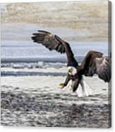 Coming In For The Catch Canvas Print
