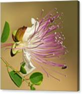 Common Caper Canvas Print