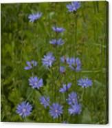 Common Chicory Wildflowers #1 Canvas Print