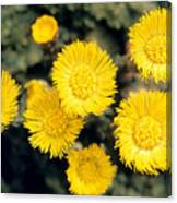 Common Coltsfoot  Canvas Print