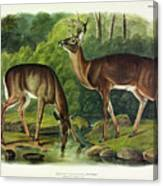 Common Deer Canvas Print