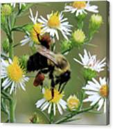 Common Eastern Bumblebee  Canvas Print