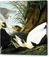 Common Eider, Eider Duck Canvas Print