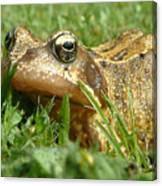 Common Frog Rana Temporaria Canvas Print