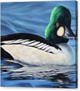 Common Goldeneye Canvas Print