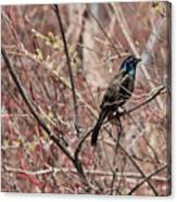 Common Grackle In Spring Canvas Print