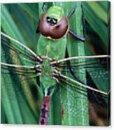 Common Green Darner Canvas Print