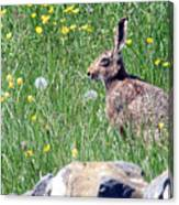Common Hare Canvas Print