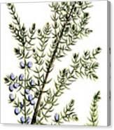 Common Juniper Alchemy Plant Canvas Print
