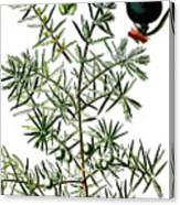 common juniper, Juniperus communis Canvas Print