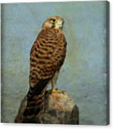 Common Kestrel Canvas Print