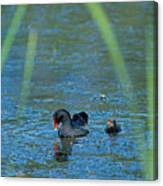 Common Moorhen And Her Baby Canvas Print