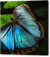 Common Morpho Blue Butterfly Canvas Print