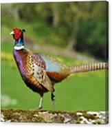 Common Pheasant. Canvas Print