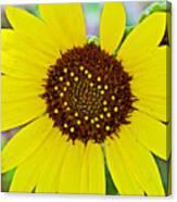Common Sunflower In Northwest North Dakota Canvas Print