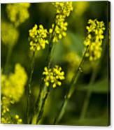 Common Wintercress Flowers Canvas Print