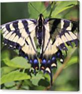 Common Yellow Swallowtail Canvas Print