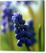 Compact Grape-hyacinth 2 Canvas Print